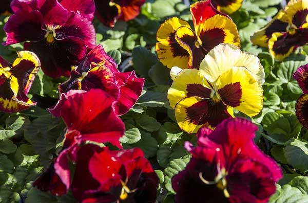 Pansy-Delta-Premium-Tapestry