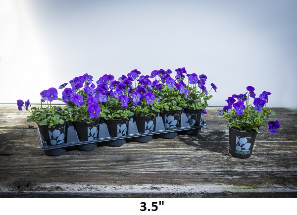 3.5 Viola Image