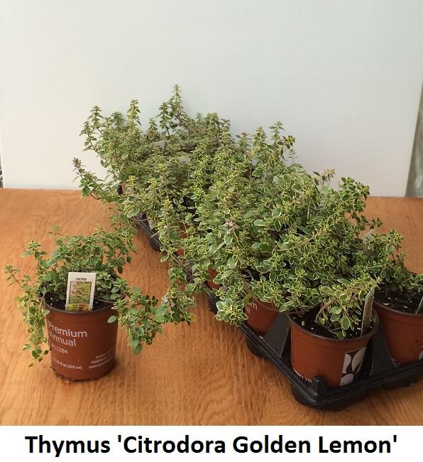 Thyme Image