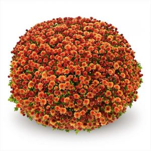 Chrysanthemum Garden Belgian Jasoda Orange