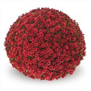 Chrysanthemum Garden Belgian Jasoda Red