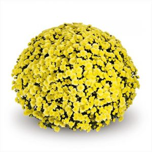 Chrysanthemum Garden Belgian Jasoda Yellow