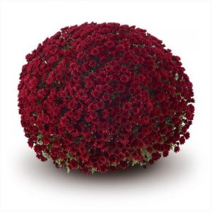 Chrysanthemum Garden Belgian Vigorelli Red