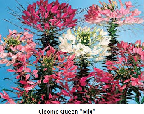 Cleome Image