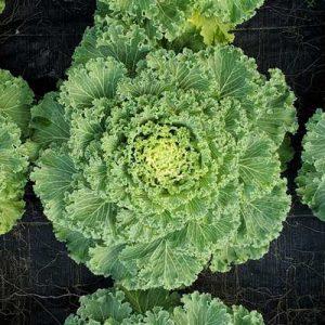 Flowering-Kale-Nagoya-White