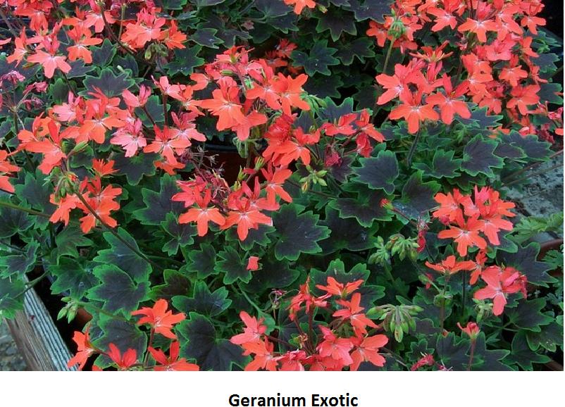 Geranium Exotic Image