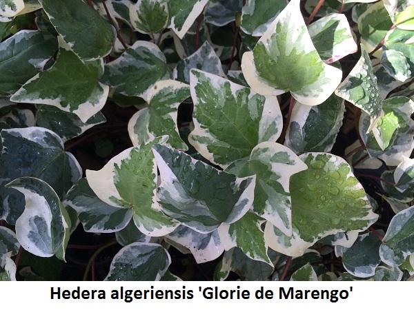 Hedera algeriensis