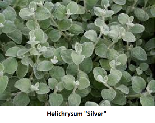 Helichrysum Image