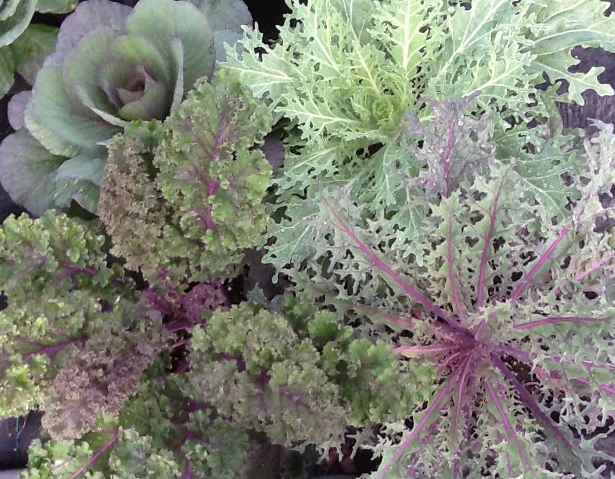 Flowering Kale Image