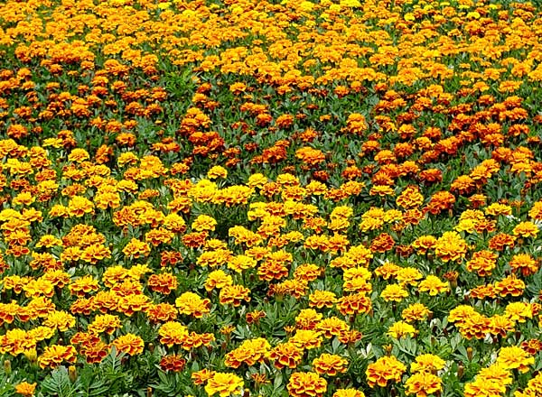 Marigold - Several Varieties