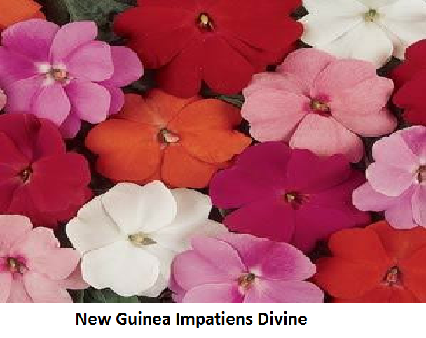 Impatiens Divine Series Image