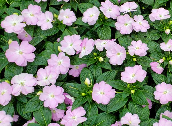 New-Guinea-Impatiens