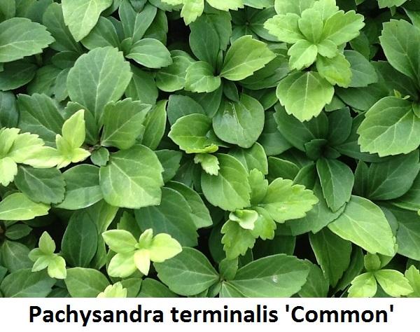 Pachysandra terminalis