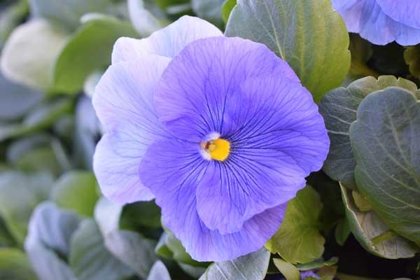 Pansy-Delta-Premium-Pure-Light-Blue