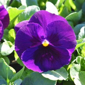 Pansy-Delta-Premium-Pure-Violet