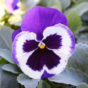 Pansy-Delta-Premium-Violet-and-White