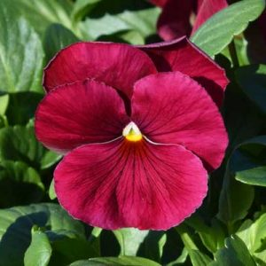 Pansy-Delta-Pure-Rose