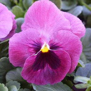 Pansy-Majestic-Giant-ll-Rose-Blotch
