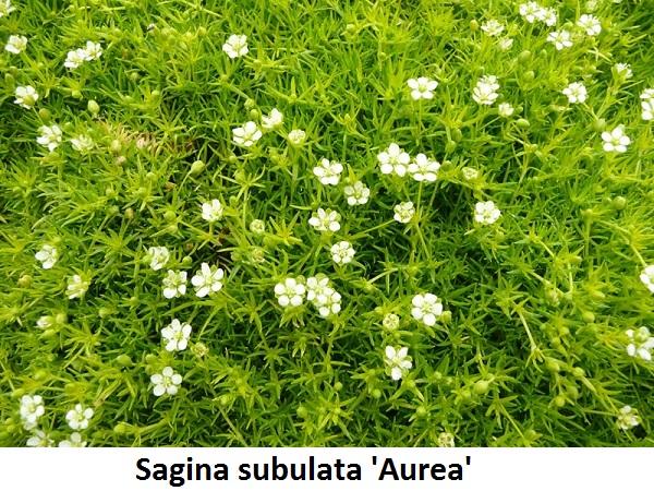 Sagina subulata