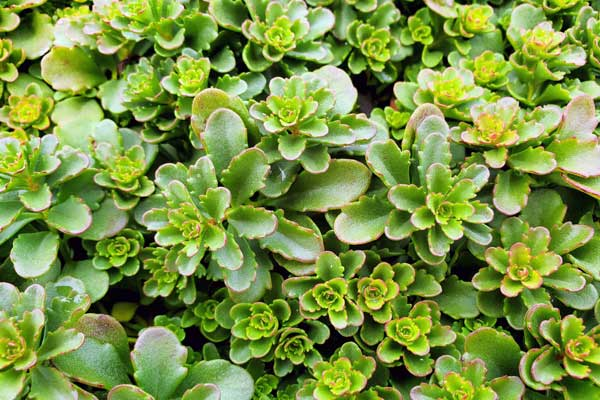 Sedum-floriferum-Green