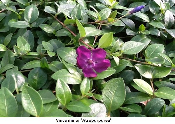 Vinca minor atropurpurea Image