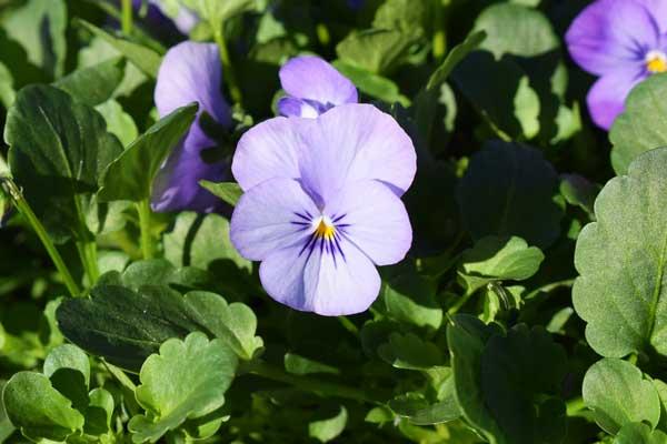 Viola-Endurio-Sky-Blue-Martien