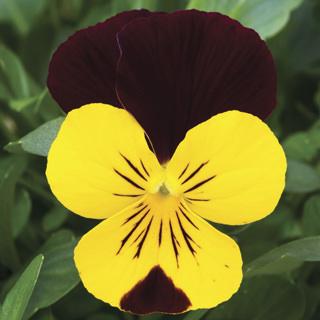 Viola Endurio Yellow Red Wing