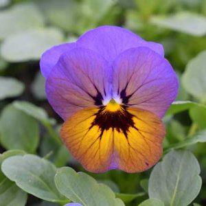Viola-Penny-Marlies