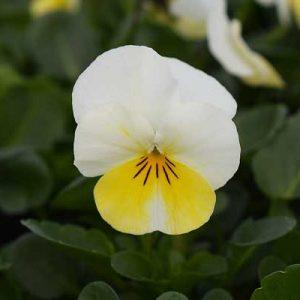 Viola-Penny-Primrose-Bicolor