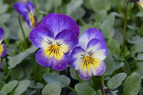 Viola-Penny-Primrose-Picotee