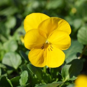 Viola-Sobert-XP-Yellow