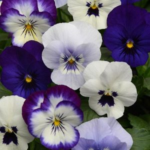 Viola-Sorbet-XP-Ocean-Breeze-Mix