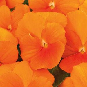 Viola_ColorMax_Clear-Orange