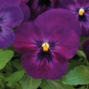 Viola_ColorMax_Purple-Glow
