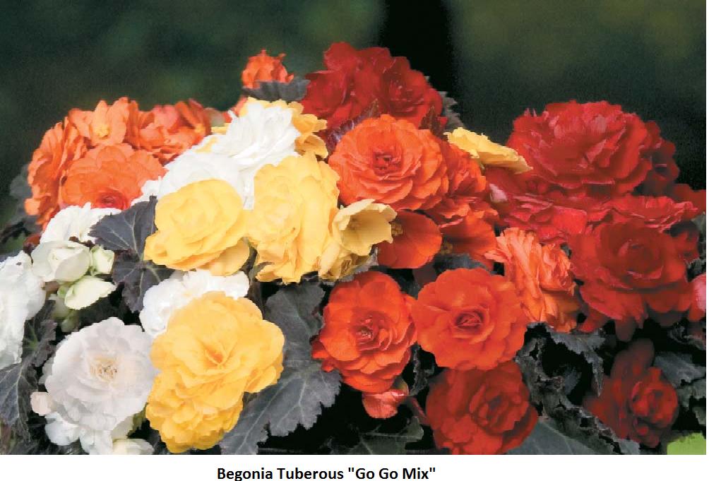 Begonia (Tuberous) Image