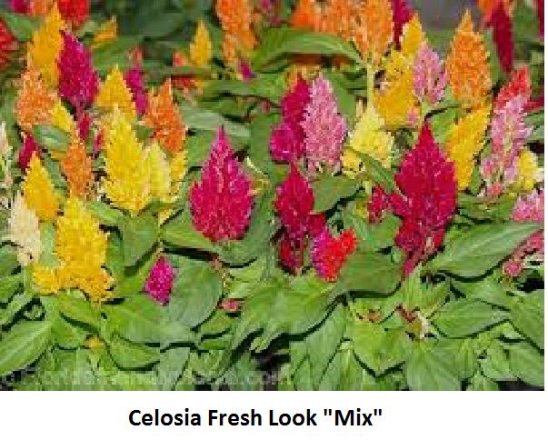 Celosia Image