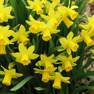 Narcissus (Spring)