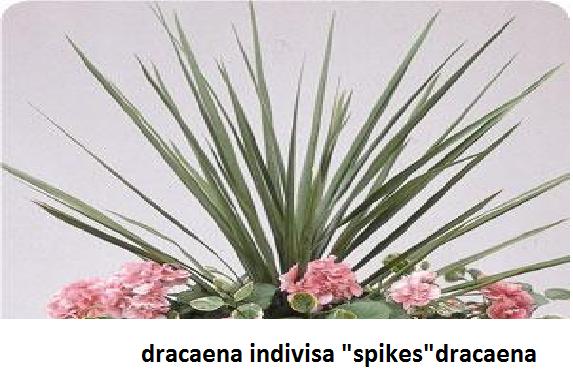 Dracaena Image