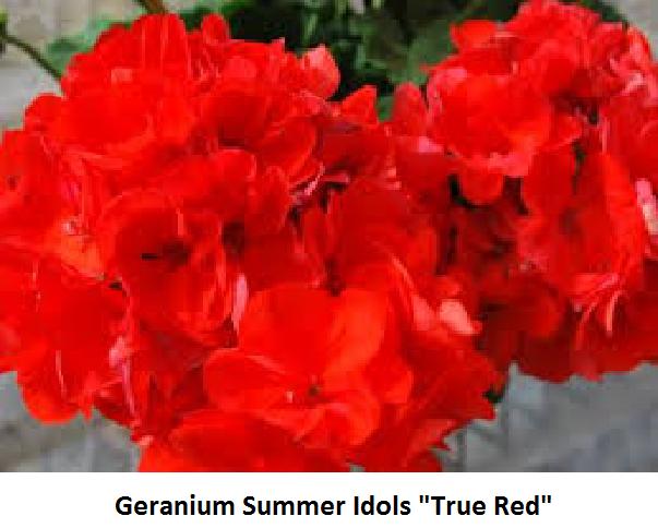 Geranium Summer Idols Image
