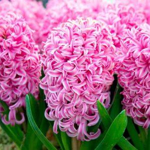 Hyacinth (Spring)