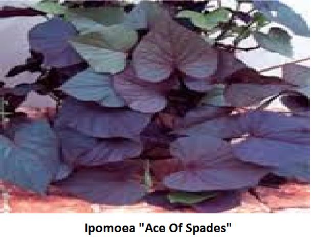 Ipomea Image