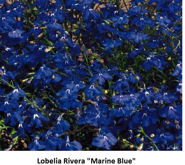 Lobelia Image