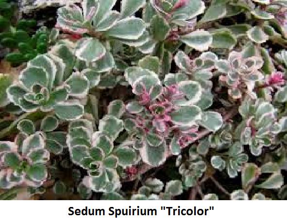 Sedum spurium tricolor Image