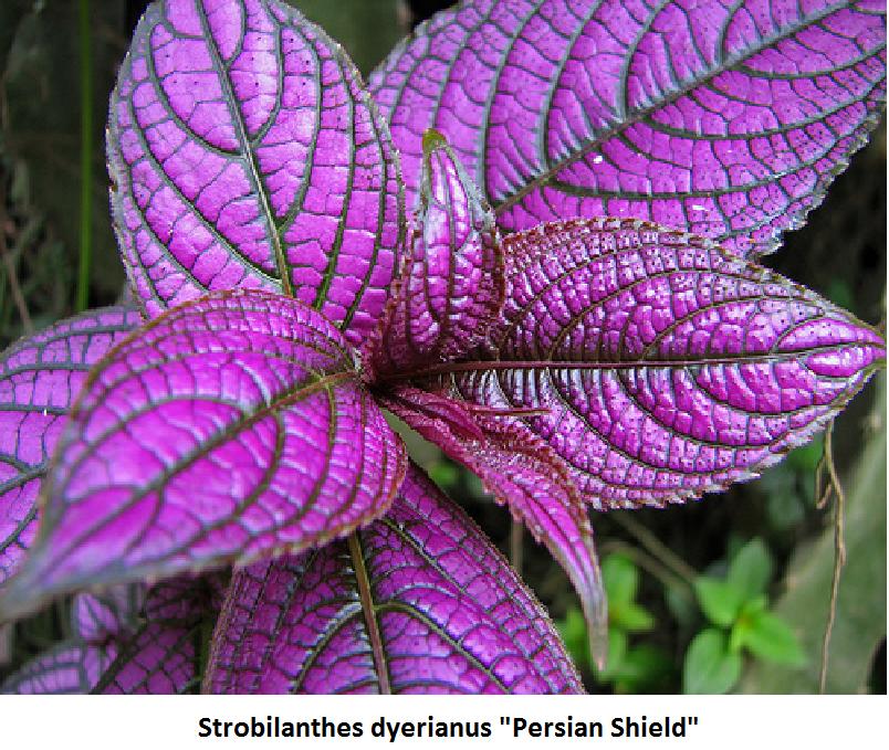 Strobilanthus Dyerianus Image