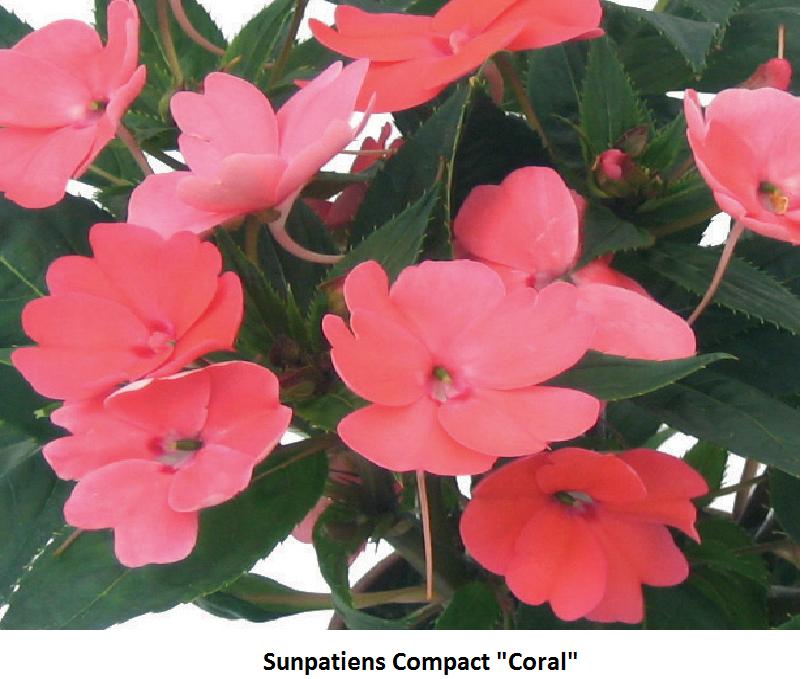 SunPatiens Image
