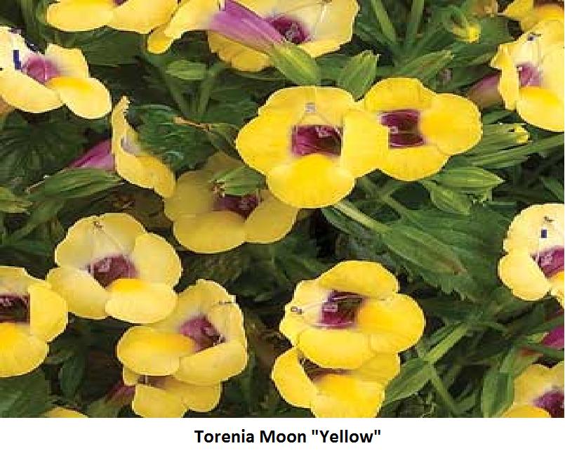 Torenia Image