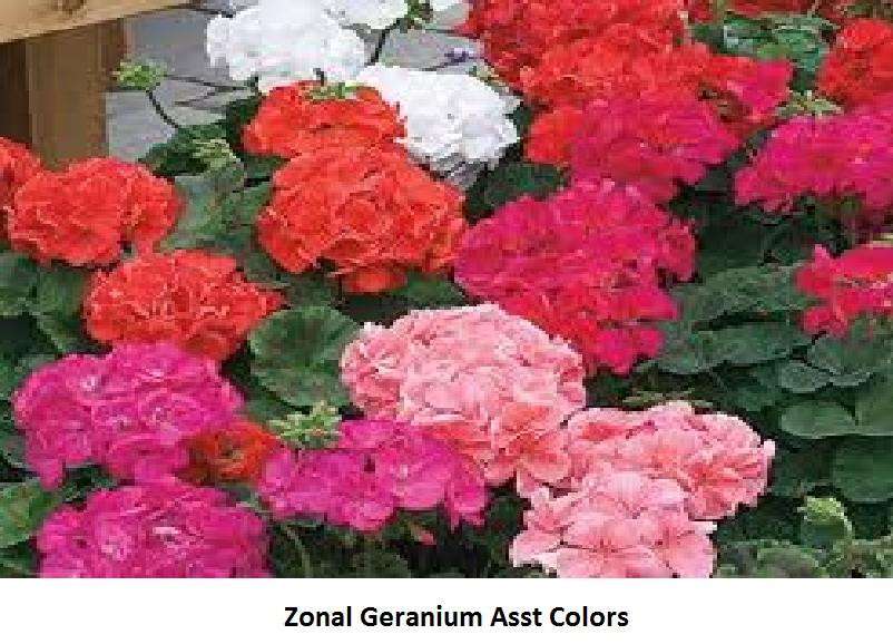 Geranium Zonal Image